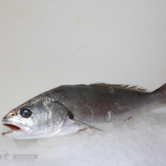 corvinata-o-corvina-salvaje-de-la-mar